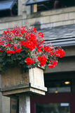 Red flowers geraniums in the quaint square wooden pot Stock Photos