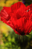 Red flowers - giant poppies royalty free stock photography
