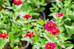 Red flowers on the green background. Red flowers in the garden as the background royalty free stock image