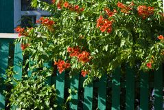 Red flowers on a green fence Royalty Free Stock Photography