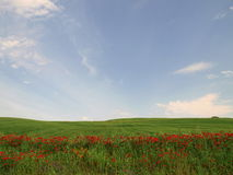 Red flowers in green field. Countryside landscape of green field with red flowers blooming in foreground stock photo