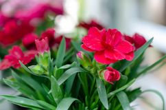 Red flowers and green leaves royalty free stock photo