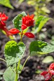 Red flowers with green leaves on black earch Stock Photos