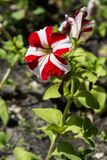 Red with white flowers with green leaves on black earch Stock Images
