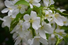 White flowers with green leaves on tree royalty free stock image