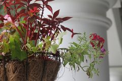 Red Flowers and green plants in basket in front of white column Royalty Free Stock Images