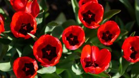 Red flowers grow on the flower garden.  stock video