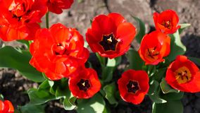 Red flowers grow on the flower garden.  stock video footage