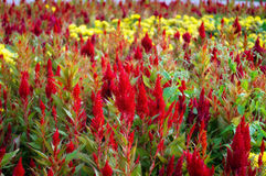 Red flowers grow on the flowerbed Royalty Free Stock Photo