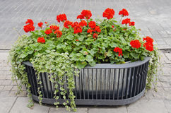 Red flowers growing in modernistic pot. Royalty Free Stock Photo