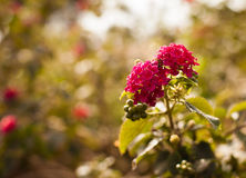 Red flowers growing in nature Royalty Free Stock Photography