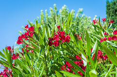 Red flowers growing on tree. Red beautiful flowers growing on a tree in a green garden Stock Images