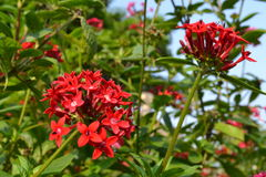 Red Flowers Royalty Free Stock Image