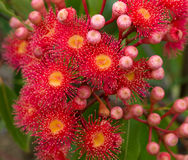 Red flowers gum tree eucalyptus Royalty Free Stock Photos