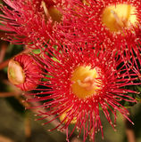 Red flowers gum tree eucalyptus phytocarpa Stock Photography