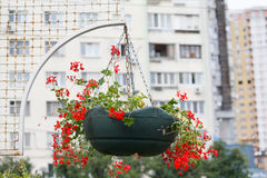 Red flowers hang in a basket. On the background of buildings Stock Photos