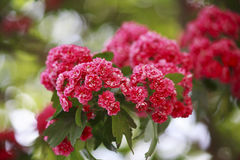 Red flowers of hawthorn flowering period Royalty Free Stock Image