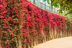 Red flowers hedge outdoors Royalty Free Stock Image