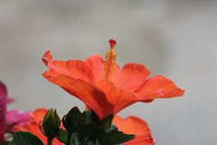 Hibiscus flowers from the Natures World. Red flowers hibiscus natures world stock photo