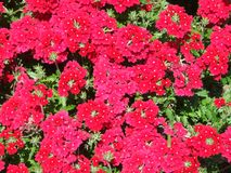 Red flowers Stock Photos