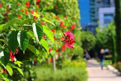Free Red Flowers In The Park Near Sarona Matket In Tel Aviv, Israel Stock Images - 162771414