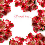 Red flowers isolated Royalty Free Stock Photos