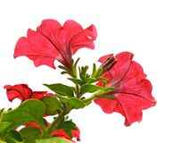 Red flowers isolated on the white Royalty Free Stock Photography