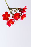 Red flowers isolated on white background. The red flowers isolated on white background Stock Image