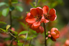 Red flowers of the Japanese quince. Red flowers of Japanese quince on the background of green leaves Royalty Free Stock Photo