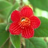 Red flowers (Kohleria Rongo) Stock Photos