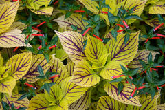 Red flowers and leaves. Close up of delicate red flowers on green leafy plant Stock Image