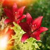 Red flowers  lily. Floral background Royalty Free Stock Photography