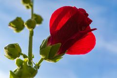 Red flowers mallow. Bright red mallow flowers with green leaves close up Royalty Free Stock Photos