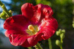 Red flowers mallow. Bright red mallow flowers with green leaves close up Stock Images