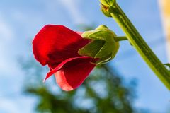 Red flowers mallow. Bright red mallow flowers with green leaves close up Stock Image