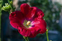 Red flowers mallow. Bright red mallow flowers with green leaves close up Stock Photos