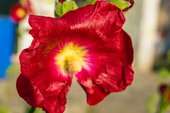 Red flowers mallow. Bright red mallow flowers with green leaves close up Stock Photography