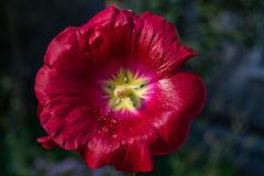Red flowers mallow. Bright red mallow flowers with green leaves close up Stock Photo