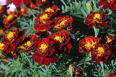 Red flowers are marigolds. A carpet of flowers on a green background. Marigolds are autumn flowers. Turkish carnation Stock Images