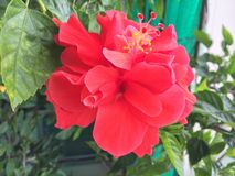 Red flowers, medium green leaves. Flowers by Bright Morning Rain Royalty Free Stock Image