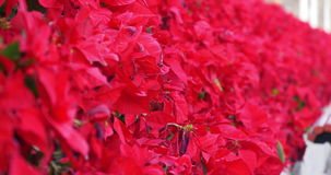 Red flowers moving focus 4k stock video footage