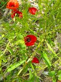 Red flowers. In my organic garden stock photos