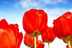 Red flowers, nature background. Vibrant red flowers against blue summer sky, beautiful nature background Stock Photos