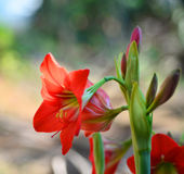 Red Flowers on nature Royalty Free Stock Photos