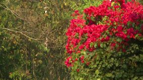 Red flowers in nature. A steady, medium shot of a bunch of red flowers in nature stock video