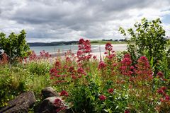 Red Flowers Near a Beach in Northern Ireland Stock Images