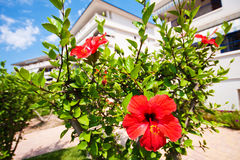 Red flowers near the pool on the territory of the residential complex. Palm trees against a blue cloudy sky. Summer rest. Apartments with a swimming pool Royalty Free Stock Images