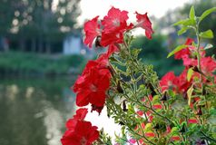 Red flowers near river Stock Photo