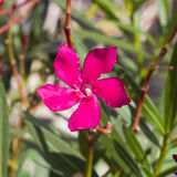 Red flowers of Nerium Oleander on shrub, macro, selective focus, shallow DOF Royalty Free Stock Photos