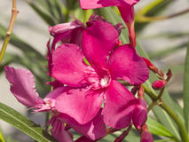 Red flowers of Nerium Oleander on shrub, macro, selective focus, shallow DOF Royalty Free Stock Images